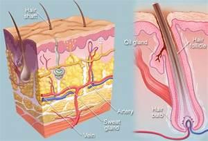 Hair  Human Anatomy   Image  Parts  Follicle  Growth