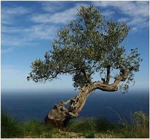 Olivenbaum Im Wohnzimmer überwintern : olivenbaum martin fandler meine orangerie ~ Markanthonyermac.com Haus und Dekorationen