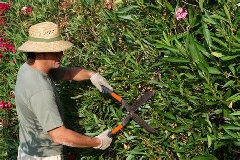 oleander schneiden wann oleander schneiden 187 anleitung schnitttechniken und illustrationen