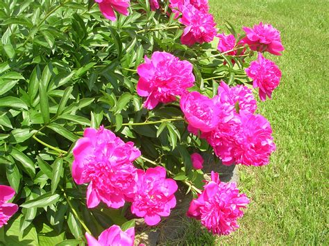 grow peony how to grow peonies growing and caring for peonies