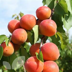 Apricot Tomcot Fruit Trees For Sale   Blackmoor Nursery