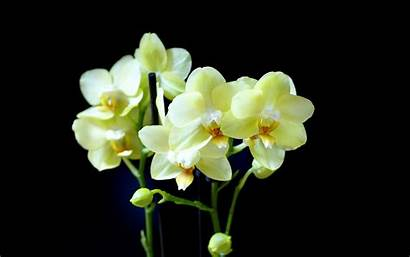 Orchid Orchids Yellow Flower Background Phalaenopsis Wallpapers