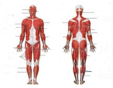 Human muscle system, the muscles of the human body that work the skeletal system, that are under voluntary control, and that are concerned with movement, posture, and balance. Human Muscular System
