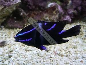Blue velvet damsel Exotics Fish