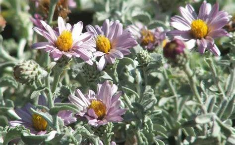 common california flowers corethrogyne filaginifolia silver carpet common corethrogyne