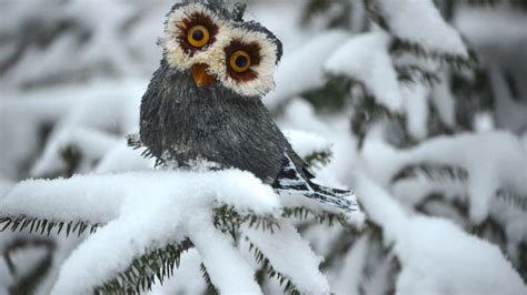 wallpaper owl pines snow cute animals funny animals