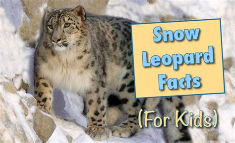 snow leopard facts  kids information pictures
