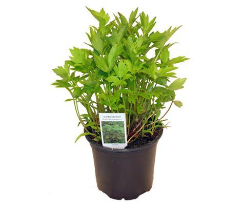 gemüse anbauen hochbeet liebst 246 ckel maggikraut lexikon f 252 r kr 228 uter und pflanzen