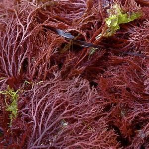 How vegan demand for agar is killing Morocco's red seaweed ...  Seaweed