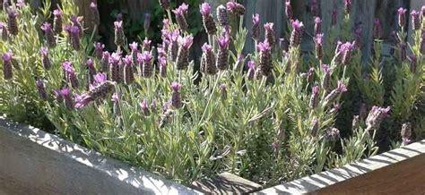 Lavendel Im Garten  Dr Schweikart