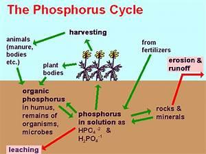 Phosphorus Cycle Pictures