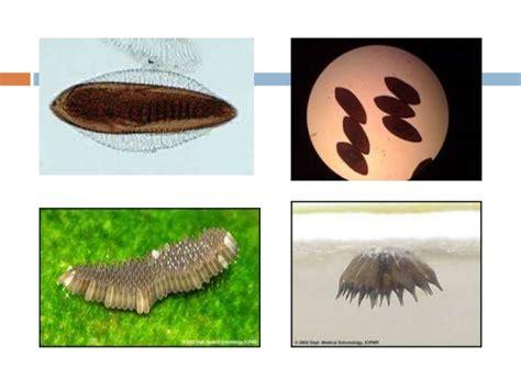 morfologi daur hidup perilaku nyamuk