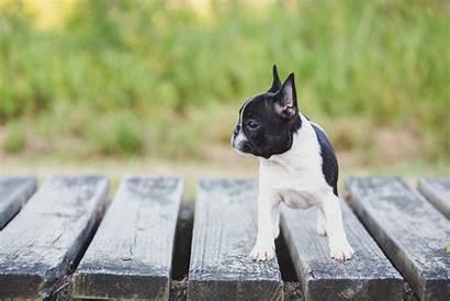 French Bulldog Pet Stella Ct Maler