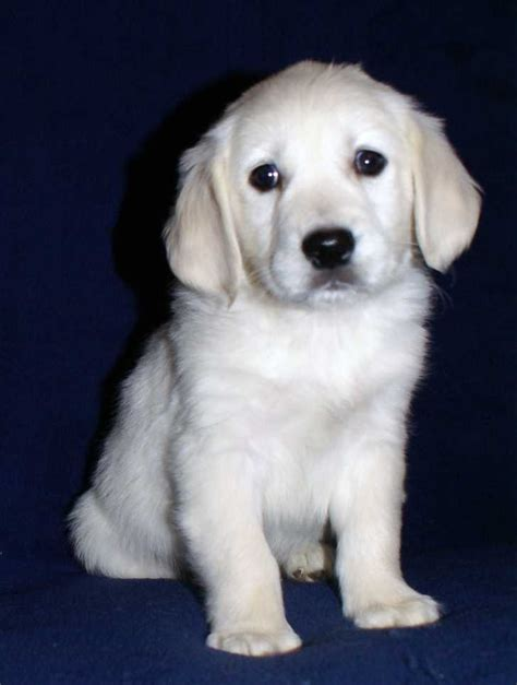 white golden retriever puppy video search engine