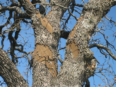tree diseases images common oak tree diseases bing images