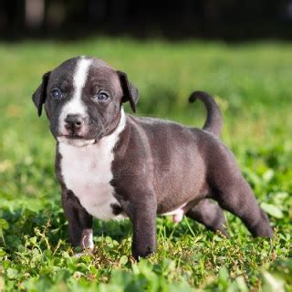 analise de caes american staffordshire terrier