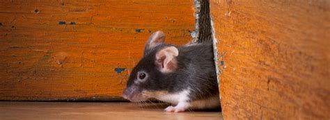 mouse diseases  affect humans ehrlich pest control