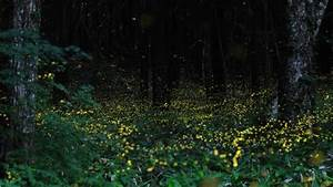 Stunning long exposure photographs of gold fireflies in for Stunning time lapse photographs of gold fireflies in japan