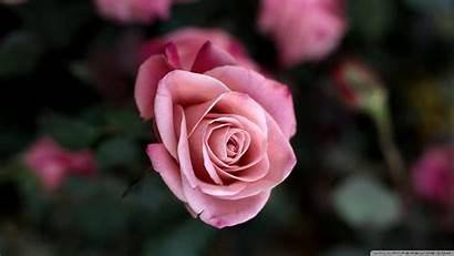 Rose Bush Pink Wallpapers Flower Cool Flowers