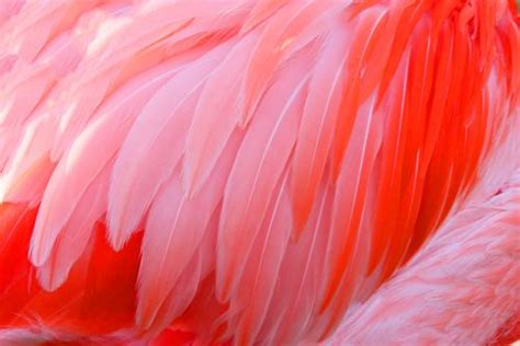 how do flamingos get their pink color what do you about flamingos mnn nature