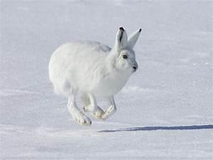 Arctic Hare | The Biggest Animals Kingdom