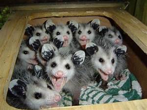 LOL Possums | Tacky Raccoons