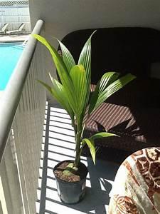 Palmenarten Für Draußen : kokospalme ist eine bewundernswerte gr npflanze f rs zuhause ~ Michelbontemps.com Haus und Dekorationen