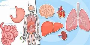 Large Human Body Organs For Skeleton
