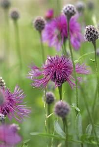 Fleur De Lys Plante : 9 plantes sauvages cultiver au jardin d tente jardin ~ Melissatoandfro.com Idées de Décoration