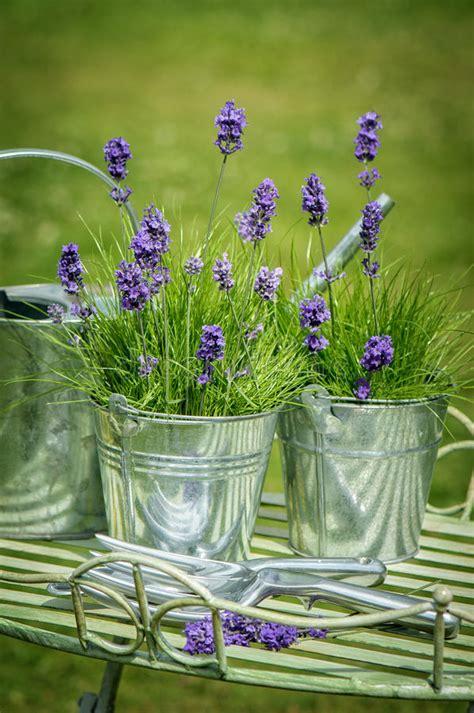 vasi di lavanda lavanda giardino immagine stock immagine di sprigs