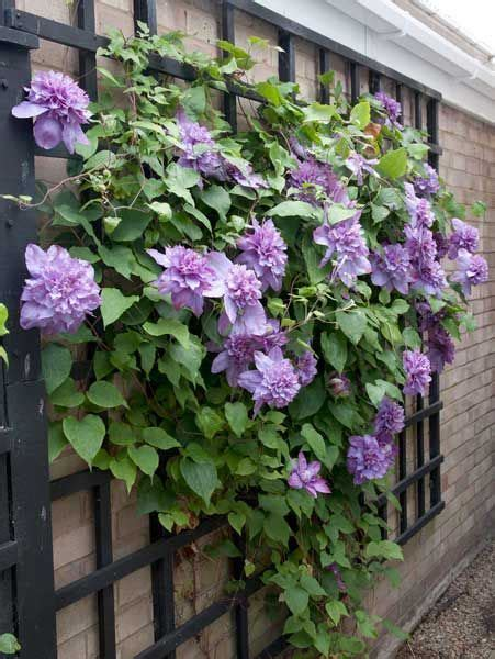 Clematis Vyvyan Pennell Climbing Plant Outdoors