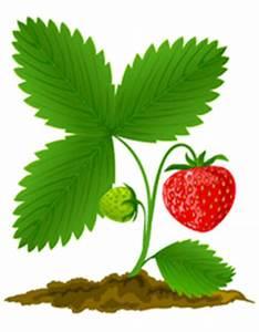 Erdbeeren Richtig Pflanzen : pflanzanleitung erdbeeren erdbeeren ~ Lizthompson.info Haus und Dekorationen