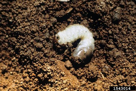 white grub in soil got pests