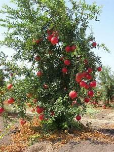 Potted Pomegranate Tree - Punica granatum - 5 to 10 ...
