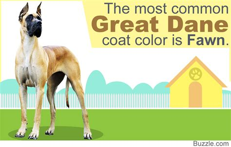 great dane colors 8 different great dane colors and patterns with amazing