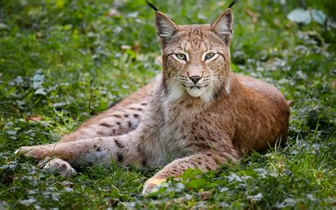 lynx archives hdwallsourcecom