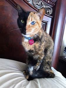 Venus – the Chimera Cat | Fascinating Animals
