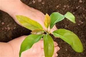 Avocado Pflanze Pflege : avocadopflanze pflege ~ Lizthompson.info Haus und Dekorationen
