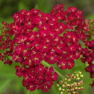 Pflanzkörbe Für Blumenzwiebeln : naturagart shop schafgarbe rot online kaufen ~ Lizthompson.info Haus und Dekorationen