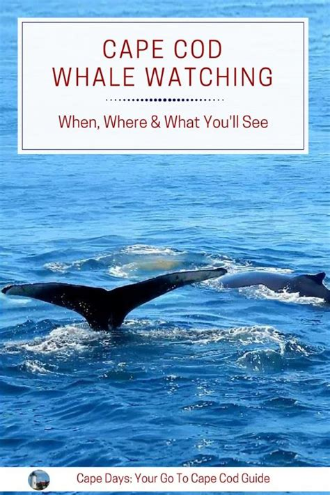 Cape Cod Whale Watching What You Need To Know Before You Go