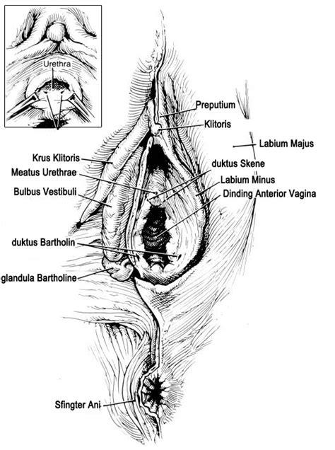 Anatomi Wanita Dewasa Anatomi Organ Reproduksi Wanita Obgin Fkkumj