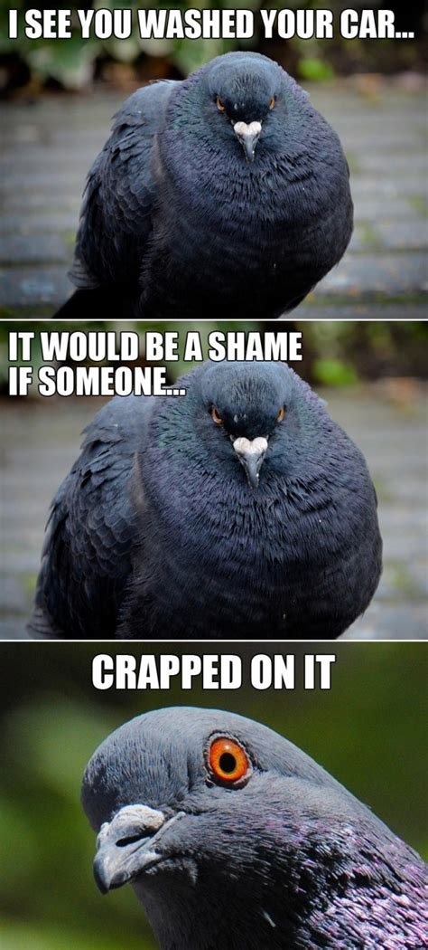 Pigeon Memes - funny pigeon