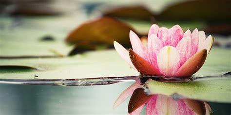 tatuaggi con fiori di loto fiore di loto simbologia tatuaggi e significato