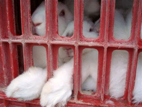 Whats Wrong With Rabbit Farms Freedom For Farmed Rabbits