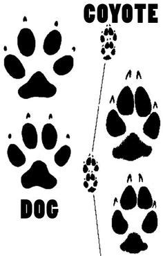 Coyote Prints vs Dog Prints | Mountain Lion? | Bobcats | Pinterest | Lions, Dog and Animal