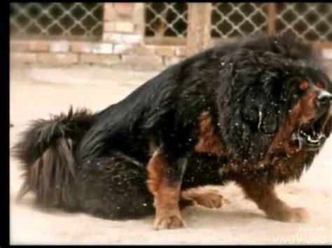 Sehr Große Hunde