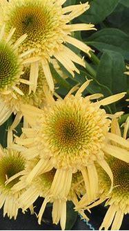 Plantes Vivaces ECHINACEA 'Secret Joy' ® - Rudbeckia ...