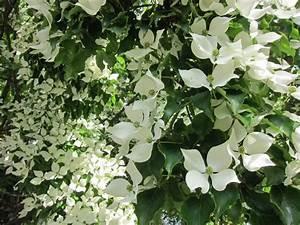 Weiß Blühender Strauch : bl tenb ume ~ Lizthompson.info Haus und Dekorationen