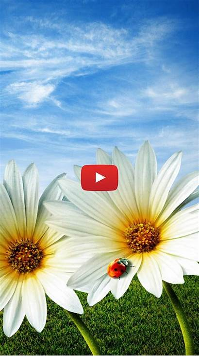 Daisies Spring Phone Flower Wallpapers Woodenboxlwp