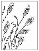 Wheat Coloring Pages Field Drawing Printable Document Untitled Getcolorings Getdrawings sketch template